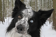 Shep, our Border collie